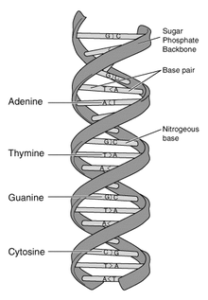 dna-structure-and-bases